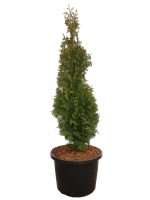 Thuja Occidentalis Degroot Spire  Zerav západní Degroot Spire
