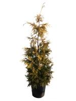 Thuja Plicata Zebrina Extra Gold  Zerav obrovský Zebrina Extra Gold